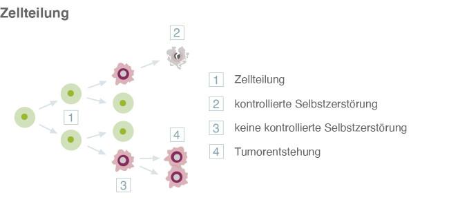Zellteilung und Tumorentstehung