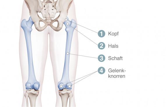 Anatomie des Oberschenkelknochens