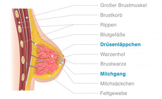 Brustkrebs Anatomie